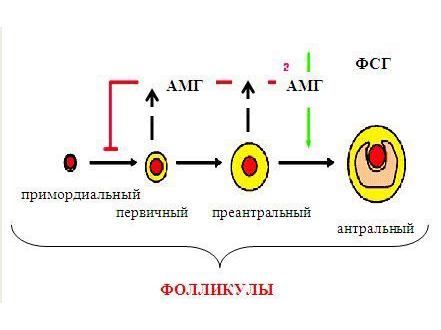 Действия АМГ в яичнике