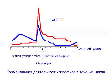 Гормональная деятельность гипофиза в течение цикла