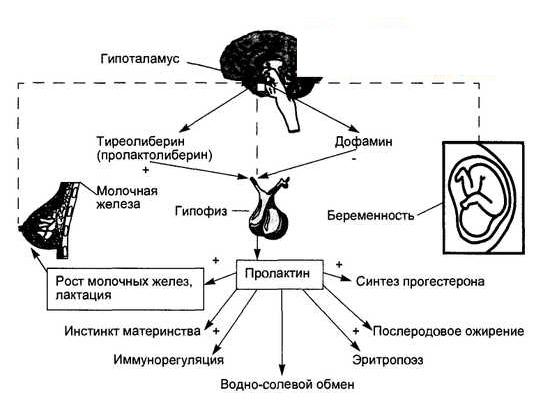 Регуляция секреции и физиологические эффекты пролактина