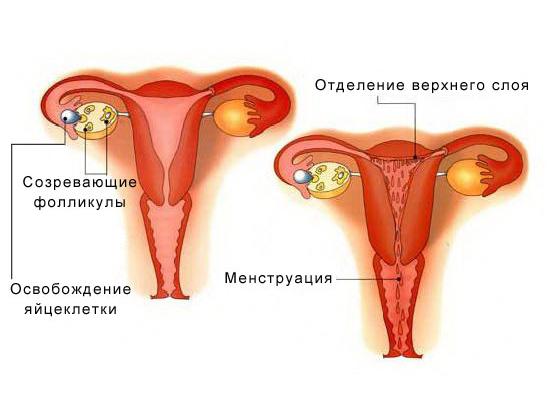 Схема менструации