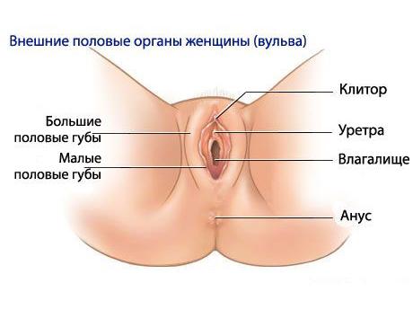 Внешние половые признаки женщины
