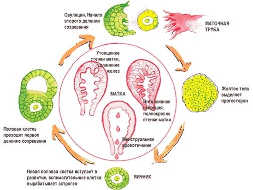Функция менструального цикла