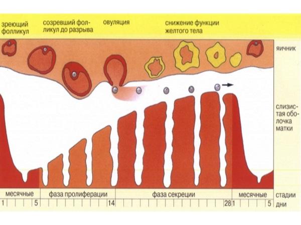 Нормальный менструальный цикл женщины