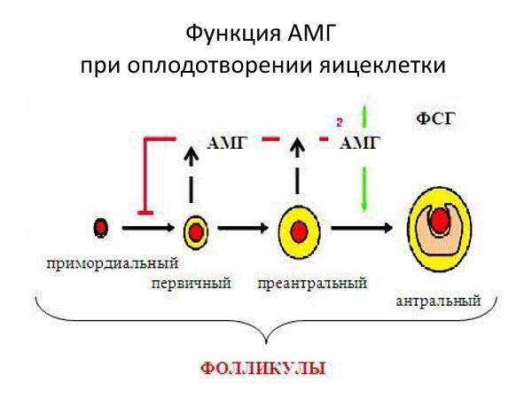 Функция АМГ при оплодотворении яйцеклетки