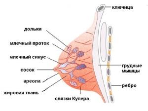 Структура женской груди
