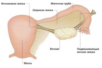 Расположение яичников