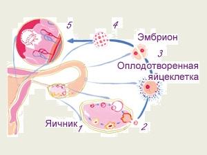 Схема зачатия