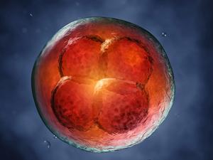 Яйцеклетка женщины