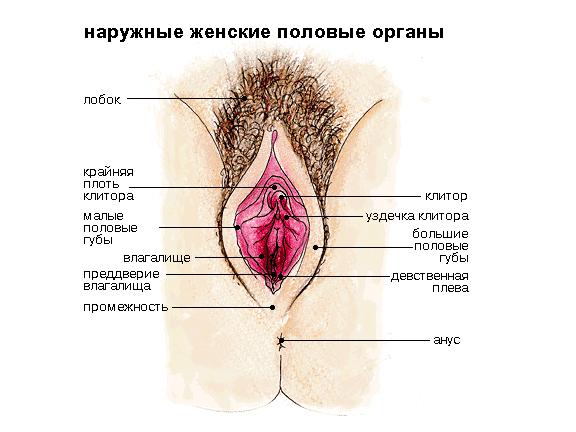 Наружные женские половые органы