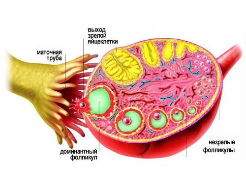 Выход зрелой яйцеклетки