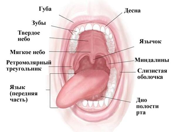 Анатомия полости рта