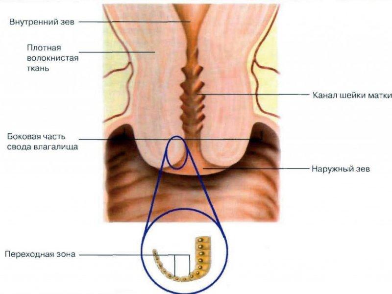 Анатомия шейки матки