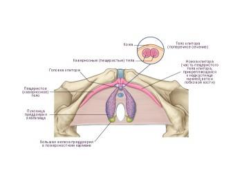Анатомия клитора женщины