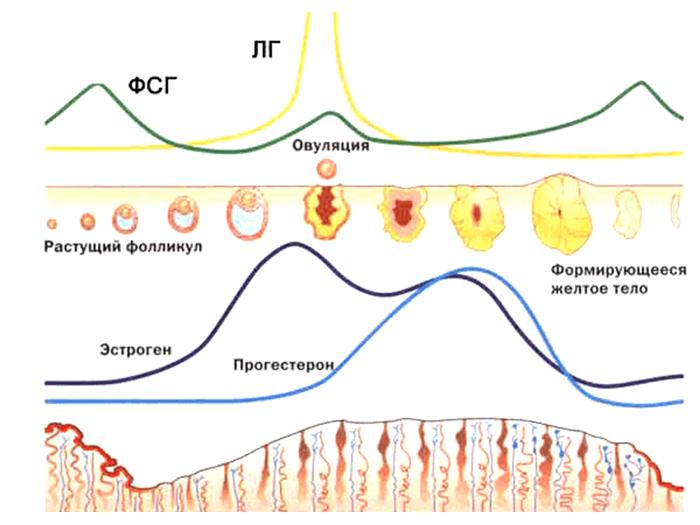 Изменение ФСГ и ЛГ в месячном цикле