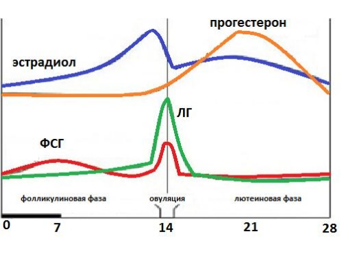 Участие эстрадиола в цикле женщины