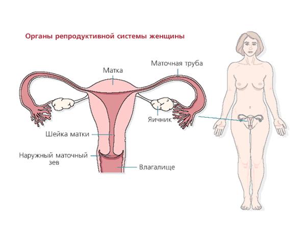 Органы репродуктивной системы женщины