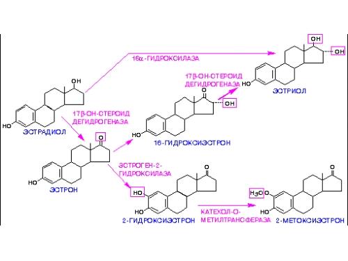 Метаболизм эстрадиола