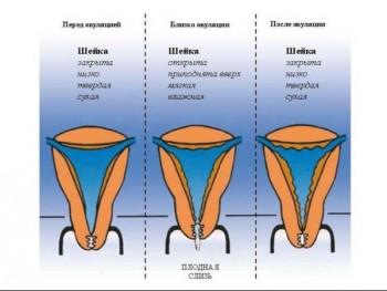 Положение шейки матки в разные фазы овуляции