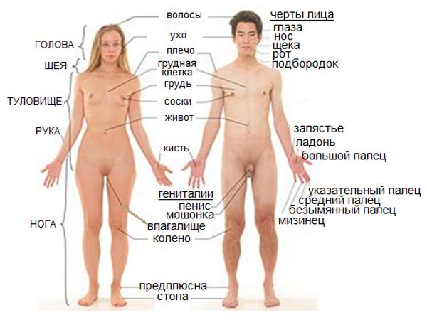 Первичные и вторичные половые признаки человека