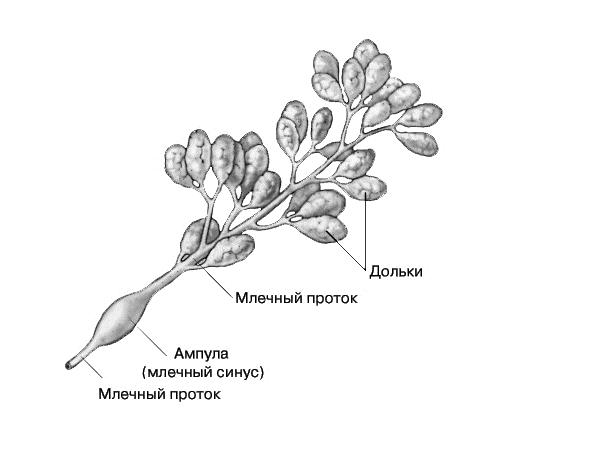 Фрагмент железистой ткани молочной железы