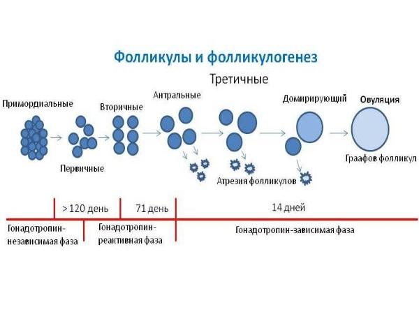 Созревание яйцеклетки - фолликулогенез